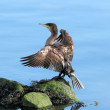 Great Cormorant spreading wings — Stock Photo