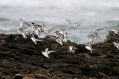 Sea birds flock — Stock Photo