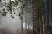 Rainy and foggy pine woods — Stock Photo