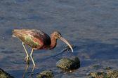 Parlak ibis — Stok fotoğraf