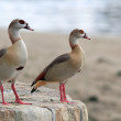 Couple of Egyptian geese — Stock Photo