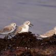 Sanderlings in the morning — Stock Photo