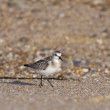 Sanderling looking to the camera — Stock Photo