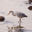 Great heron in a river — Stock Photo