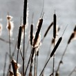 Common bulrush background — Stock Photo #36593373