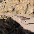 Stock Photo: Sandpiper