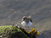 Common Sandpiper — Stock Photo