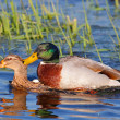 Ducks mating — Stock Photo