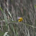 Yellow watgail — Stock Photo
