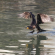 Cormorant taking off — Stock Photo