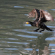 Stock Photo: Cormorant takeoff