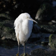 White egret resting — Stock Photo