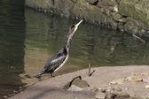 Cormorant swallowing — Stock Photo