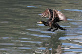 Cormorant takeoff — Stock Photo