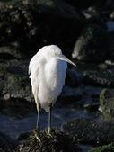 White egret resting — Stock Photo