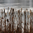 Common bulrush background — Stock Photo #36765025