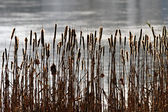 Common bulrush background — Stock Photo