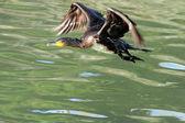 Cormorant flight — Stock Photo
