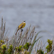 Yellow wagtail singing — Stock Photo #36873227