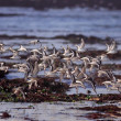 Flock of sanderlings in flight — Stockfoto