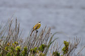 Yellow wagtail singing — Stock Photo