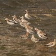 Douro river sandpipers — Stockfoto #36985883