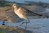 Detailed sandpiper — Stock Photo