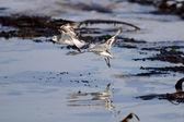 Sanderlings flight — Stock Photo