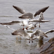 Seagulls — Stock Photo #37230781