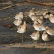 Flock of sandpipers resting — Stock Photo