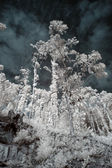 Infrared trees — Stock Photo