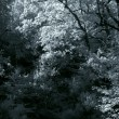 Stock Photo: Infrared dense woods