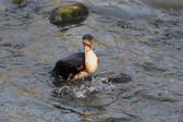 Cormorant full of fish — Stockfoto