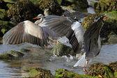 Herons fight — Stok fotoğraf