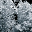 Stock Photo: Infrared leaves and branches