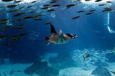 Lisbon Oceanarium manta ray — Stock Photo