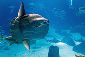 Ocean sunfish (Mola mola) — Stock Photo