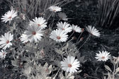 Infrared daisy — Stock Photo