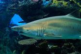 Requin — Photo