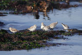 Sanderlings — Stock Photo