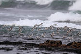 Flock of sea birds in flight — Stock Photo