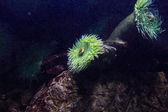 Anémone de mer — Photo