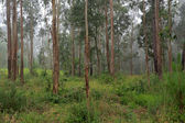 Foggy eucalypt — Stock Photo