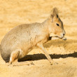 Mara or Patagonian hare — Stock Photo
