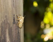 Exoskeleton of a cicada - Summer in the south of France — Stockfoto