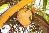 An unripe coconut on a coconut palm, Senegal — Stock Photo