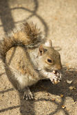 Red squirrel eating peanuts in St James Park, London — Stock Photo