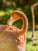 Greater male Flamingo grooming (Phoenicopterus ruber specie) — Stock Photo