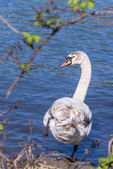 Female swan about to dive into the water of the Seine, Melun, France — Stock Photo