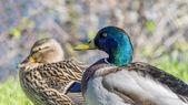 Couple of mallard ducks near the Seine river, France — Photo